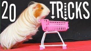 Amazing Guinea Pigs Tricks (with Twix and Lilo)