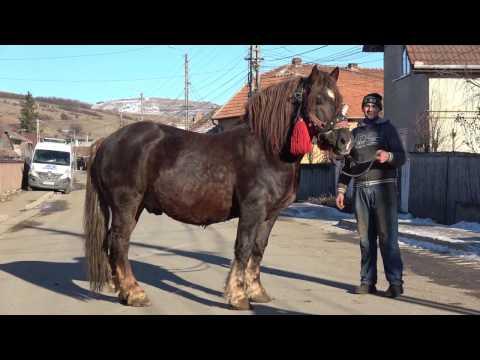 Armasar de monta Gilau Cluj Proprietar Florin