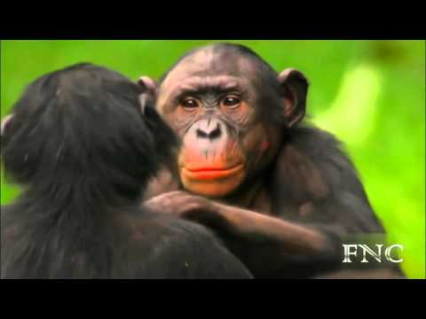 Xxx Mp4 Sexo Salvaje Entre Animales La Bella Vida De Los Bonobos 3gp Sex