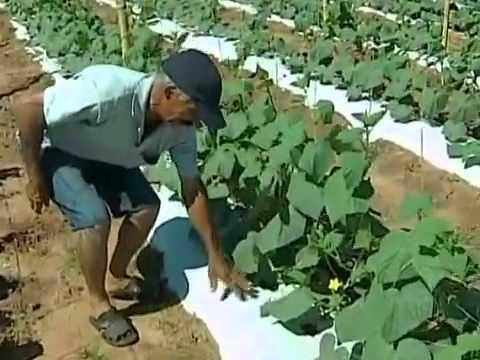 Famílias assentadas investem na produção de pepinos