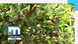 Miracle Fruit In Rasheed
