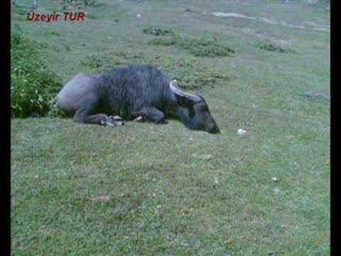 Geriskoyde Nostalji Komus Manda water buffalo