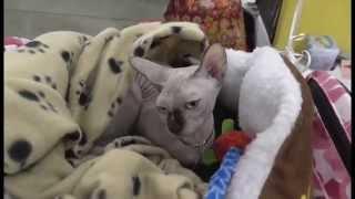 Выставка кошек  Экспоцентр  Москва  7 12 2014