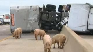 Pigs escape onto highway after truck overturns