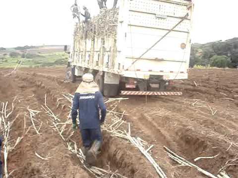 Plantio de cana usina V.O