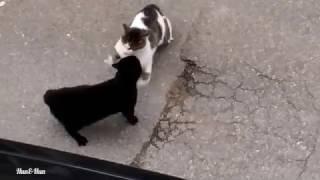 Kedilerin düellosu /kavga eden sokak kedileri /Cat fighting