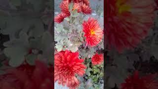 How to grow dahlia in pot