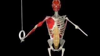 Olympic Gymnastics Rings Anatomy