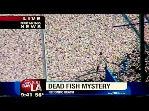 Millions of Dead Fish (Redondo Beach) California 3/8/11