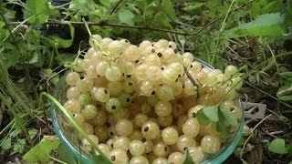 Picking White Currants in the Forest Garden