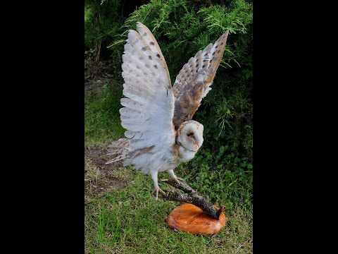 Mounting a Barn Owl Taxidermy