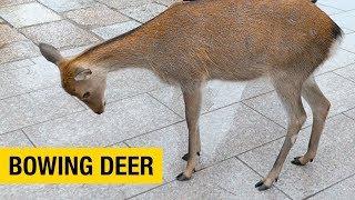 Polite Bowing Deer at Nara Park