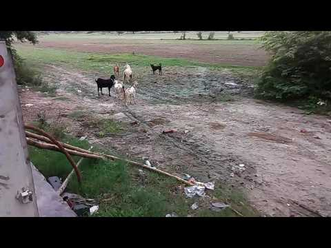 Two dogs attack on a goat