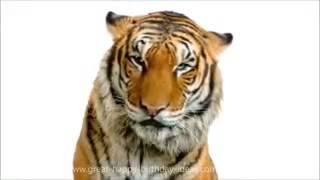 Harimau menyanyi lagu hari jadi