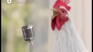 lawak ayam menyanyi lagu iya iya oi