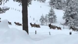 Over 100 Elk - Elk City Idaho