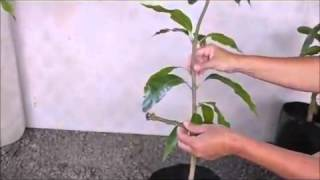 Whip Grafts on Fruit Trees - Grafting a Mango Tree