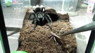 Tarantula feeding video 3