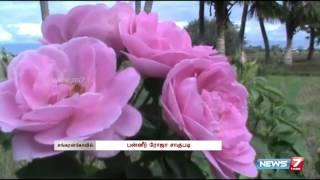 Paneer Rose cultivation kicks off at Sankarankovil | Tamil Nadu | News7 Tamil