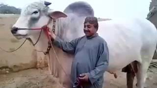 Biggest Bull in Pakistan from Sibbi Bull of the Year | اتنا بڑا بیل شاید آپ نے پہلے نہیں دیکھا  ہوگا