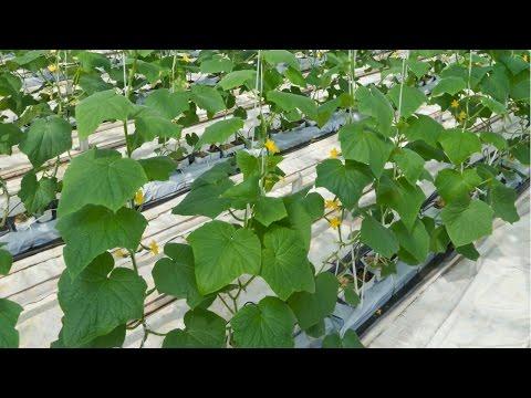 Curso Cultivo de Pepino em Estufa Produção de Mudas Cursos CPT