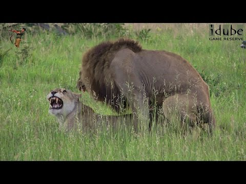 Xxx Mp4 WILDlife Lions Mating In The African Savanna 4K Video 3gp Sex