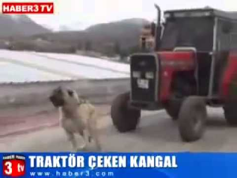 Xxx Mp4 Turkish Dog Kangal Pulls The 3 5 Ton Tractor 3gp Sex