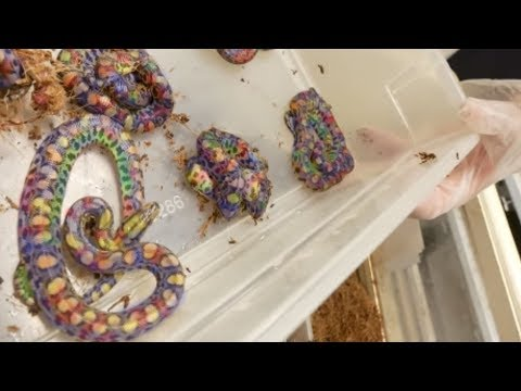 LIVE BIRTH RAINBOW SNAKE BABIES! Brian Barczyk