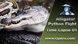 Alligator vs Big Python 01 Time Lapse