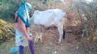 village how to get young girl milk from  cow live video