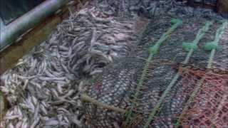 Alaskan Pollock and Market Certification Programs