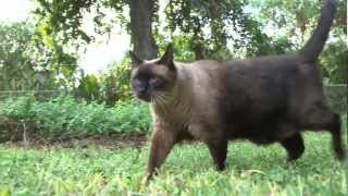 Steely Eyed Cat Walking