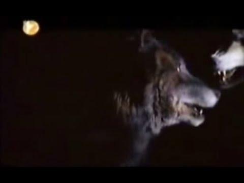 Bozkırın Gücü 4. kısım Sivas Kangal Köpeği Belgesel
