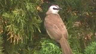 sound of Yellow-vented Bulbul