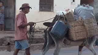 Jumento de Cangalha no Maranhão