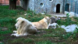 Beli lavovi Vambo, Sumba i mala Nadja - ZR - Beo Zoo Vrt