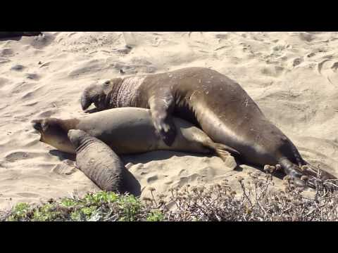 Xxx Mp4 Elephant Seals Having Sex On A California Beach While Baby Seal Watches 3gp Sex