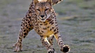 افتراس الفهد الصياد 2014