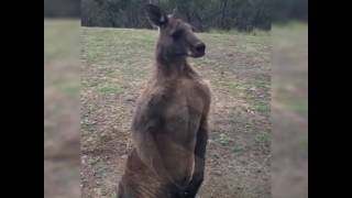 Big Kangaroo at window ...