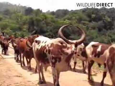Ankole cattle crossing bridge in Congo