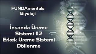 İnsanda Üreme Sistemi #2 Erkek Üreme Sistemi -  Döllenme