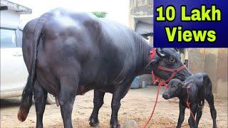 Haryana Champion Murrah Buffalo 🏆 Milk - 24.700 kg recorded in HLDB ☑️ Owner - Subash