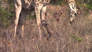 PART 2 - *UNEDITED* - Incredible! Giraffe giving birth in the wild!