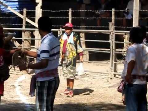 วัวชนชิงแชมป์ประเทศไทย2556 1