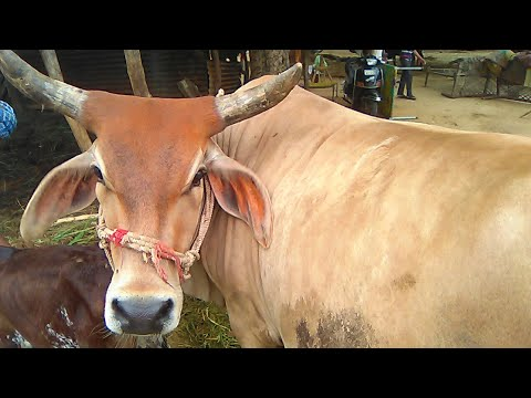 Desi gir cow  milking with cute calf lovely.