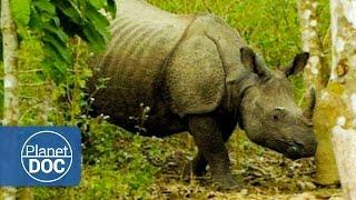 Indian Rhinoceros Full Documentary   On The Tracks Of The Unicorn - Planet Doc Full Documentaries