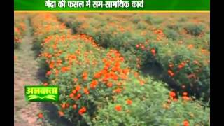Know about cultivation of marigold flowers
