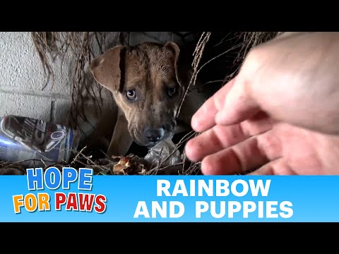 Homeless Pit Bull gives birth in a den during a massive rainstorm. SO MANY PUPPIES