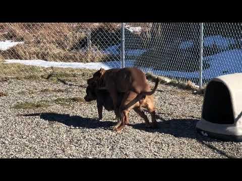 Xxx Mp4 Breeding 20 000 Tri Color Pit Bulls Hulk Son 3gp Sex