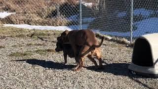 Breeding $20,000 tri color pit bulls (Hulk son)
